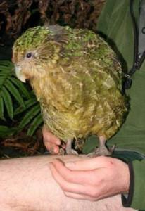 Kakapo wo Darel